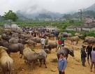 Độc đáo phiên chợ trâu lớn nhất vùng Tây Bắc