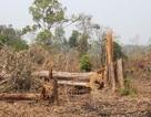 Để mất rừng vùng biên, kỷ luật 2 tập thể, 18 cá nhân