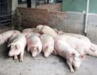 Khánh Hòa: Khống chế dịch tả lợn Châu Phi, không cho lan rộng