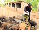 Phú Yên: Nông dân nuôi heo rừng lai kiếm hàng trăm triệu đồng mỗi năm