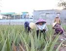 Nha đam được mùa lại được giá, nông dân Ninh Thuận phấn khởi