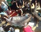 Bắt được cá ngừ đại dương vây vàng nặng gần 400kg ở Trường Sa