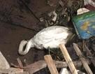 Thiên nga Hải Phòng ngất xỉu vì nắng nóng, được đưa lên Hà Nội cấp cứu