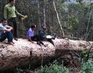 Đi chuyển gỗ tang vật, phát hiện thêm hàng chục khối gỗ quý