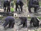 Tinh tinh biết cách sử dụng các công cụ để đào thức ăn dưới lòng đất