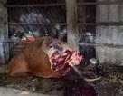 Hy hữu bò nhốt trong chuồng bị cắt trộm 2 đùi sau