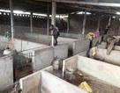 """""""Thủ phủ"""" nuôi lợn tiêu hủy gần 30 tấn lợn mắc bệnh dịch tả châu Phi"""