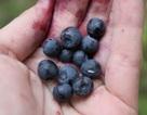 Ăn quả việt quất giúp giảm nguy cơ nhồi máu cơ tim