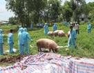 Cà Mau: Phát hoảng với những sai phạm của người dân trong phòng chống dịch tả lợn châu Phi