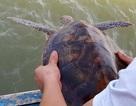 Từ chối 250 triệu đồng, ngư dân thả đồi mồi dứa quý hiếm về biển