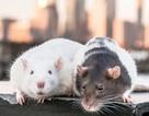Chi tiền triệu để uống cocktail cùng … chuột cống
