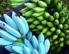 Kỳ lạ loại chuối xanh da trời có vị kem vani giá hơn 2 triệu mỗi nải