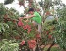 """""""Phát sốt"""" với vườn vải thiều Lục Ngạn ra quả mọc chi chít ở thân"""