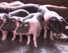 """""""Đau đầu"""" lo giữ giống lợn quý thuần chủng giữa """"cơn bão"""" dịch tả châu Phi"""
