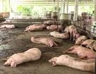 Dịch tả lợn Châu Phi tấn công thành phố 13 triệu dân