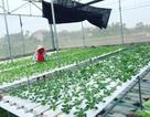 Cử nhân về quê sống nhờ 200m2 vườn, ngày ngày bán rau khắp Hà Nội