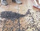 """Ngôi làng bị hàng triệu con ruồi bao vây, """"cầm tù"""""""