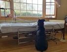 Cảm động bức ảnh chú chó kiên nhẫn ngồi chờ bên giường bệnh người chủ quá cố