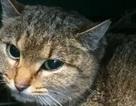 """Phát hiện loài """"mèo cáo"""" hoàn toàn mới ở Pháp"""