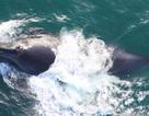 Các nhà khoa học lần đầu thu được âm thanh của quần thể cá voi khổng lồ cực hiếm