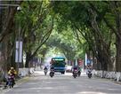 Bóng mát quý giá trên đường phố Hà Nội ngày nóng đỉnh điểm