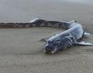 Sinh vật kỳ quái dạt vào bãi biển Úc