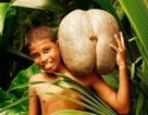 Hòn đảo có loại quả gợi cảm như vòng 3 của thiếu nữ
