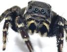 Phát hiện loài nhện ngựa mới ở Úc