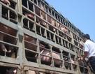 Đình chỉ công tác cán bộ thú y cấp giấy kiểm dịch cho lợn bị dịch tả
