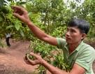 """""""Đột nhập"""" vườn chanh tứ quý trồng trên gốc bưởi, thu về 5 tỷ đồng/năm"""