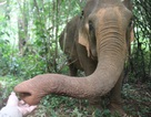 Thiếu thức ăn, voi rừng đến phá hoại hoa màu của người dân