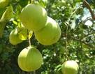 Sống chậm ở làng trái cây Nam Bộ xứ Quảng