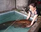 """Cần thủ câu được con cá leo """"khủng"""" nặng 80kg"""
