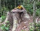 "Cận cảnh cánh rừng cổ thụ bị ""xẻ thịt"" tan hoang tại Gia Lai!"