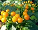 Loại quả bé như hạt đậu, mọc hoang tưởng vô giá trị ai ngờ... hơn nửa tỷ đồng/kg