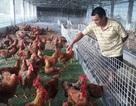 Mãn hạn tù về nuôi gà Trung Quốc, cứ bán 1 lứa lãi gần 50 triệu đồng