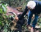 Cá thể bò tót nặng khoảng 800 kg chết ở Đồng Nai