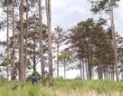 Liên tiếp xảy ra các vụ phá rừng thông quy mô lớn tại Lâm Đồng