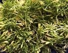 Loại hoa thường cắt bỏ đi sấy khô thành đặc sản 1,5 triệu đồng/kg