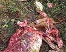 Kinh hãi hiện trường vụ trộm bò, xẻ thịt tại chỗ