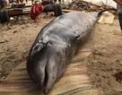 """Cá voi """"khủng"""" nặng hơn 2 tấn lại chết dạt bờ"""