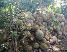 Hàng tấn sầu riêng rụng trái do ảnh hưởng bão số 3