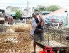 Kiểm soát chặt chẽ chợ đầu mối khi dịch tả lợn Châu Phi lan rộng
