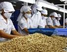 Nhập hạt điều để xuất khẩu: Doanh nghiệp Việt lãi hơn 13 triệu đồng/tấn