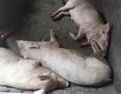 """Vô tư thu mua lợn chết từ vùng dịch đi tiêu thụ, một """"tể lô"""" bị phạt 4,5 triệu đồng"""