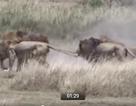Sư tử đầu đàn vật vã chống cuộc mưu phản tập thể