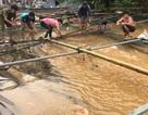 Hơn 4.000 tấn cá bè bị thiệt hại do mưa lũ