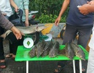 """Dân TPHCM """"đổ xô"""" mua cá tầm 100.000 đồng/kg ủng hộ người nuôi cá vùng lũ"""
