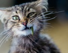 Vì sao mèo ăn cỏ?