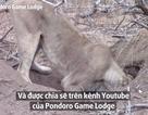 Clip hiếm sư tử đào hang giết chết lợn rừng